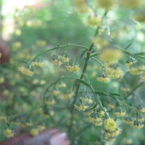 Contribution à l'amélioration de l'éducation de base des enfants de la Commune de Nguigmi en valorisant la culture de l'Artemisia annua et des plantes à haute valeur nutritive