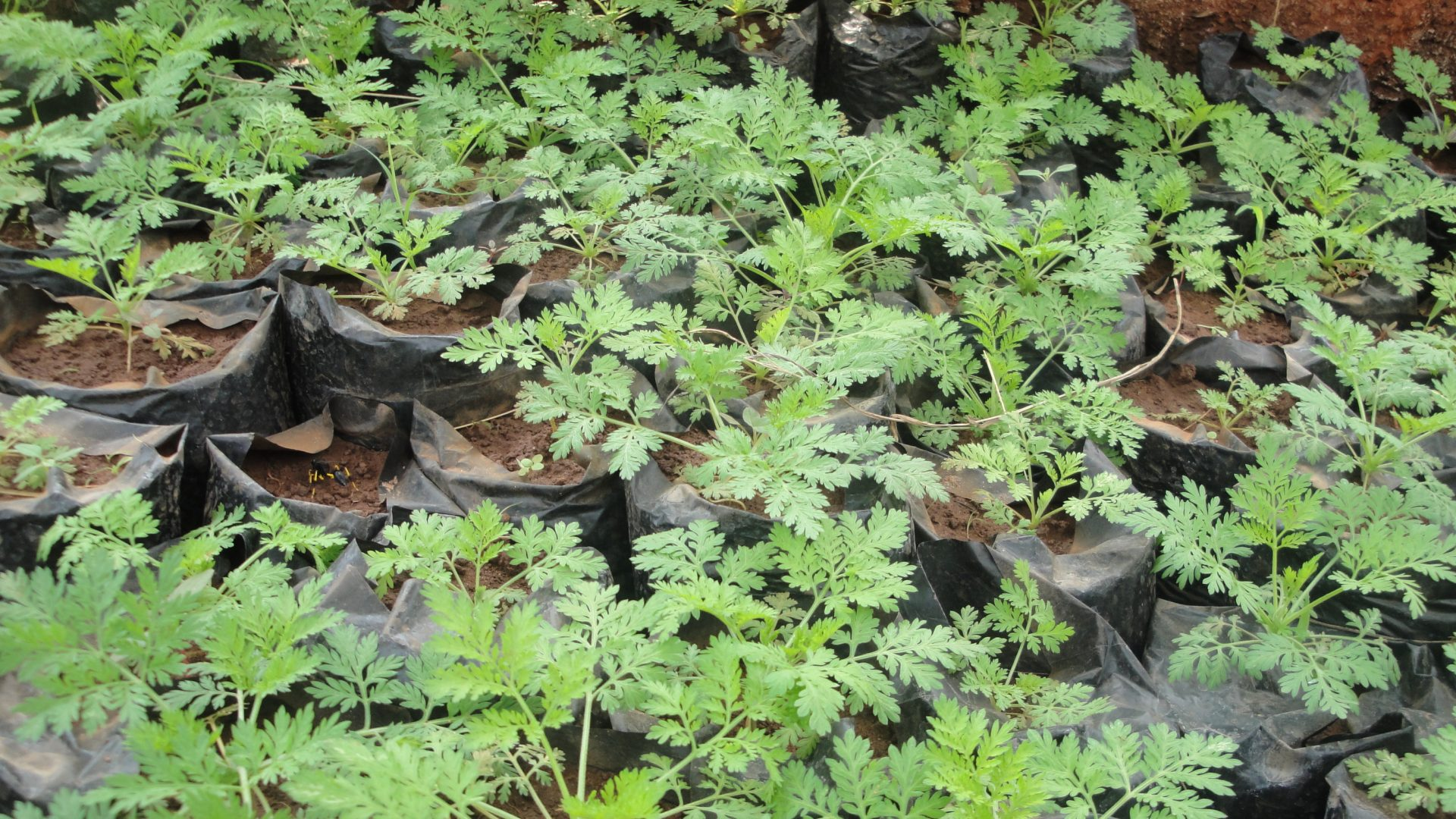 Sale of Artemisia plants for the benefit of children in Niger!