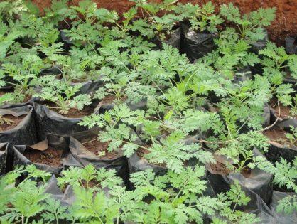 Vente de plants d'Artemisia au profit des enfants du Niger!