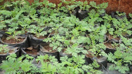 25 avril, soutenez l'Artemisia en offrant des plants aux enfants du Niger!